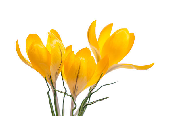 Free yellow crocus images pictures and royalty free stock photos crocus flower isolated on white mightylinksfo