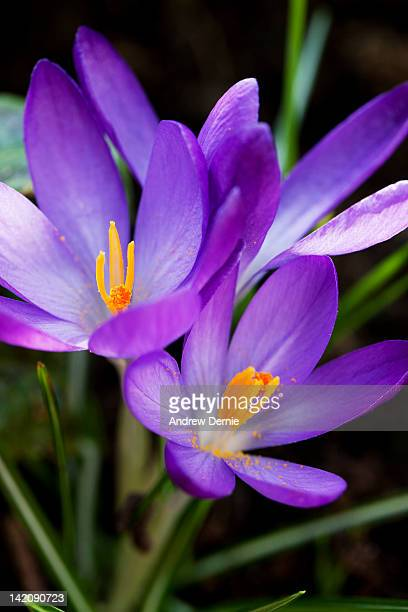 crocus flower - andrew dernie stock pictures, royalty-free photos & images