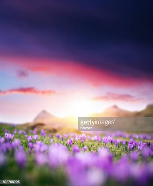 Crocus Flowers At Sunset