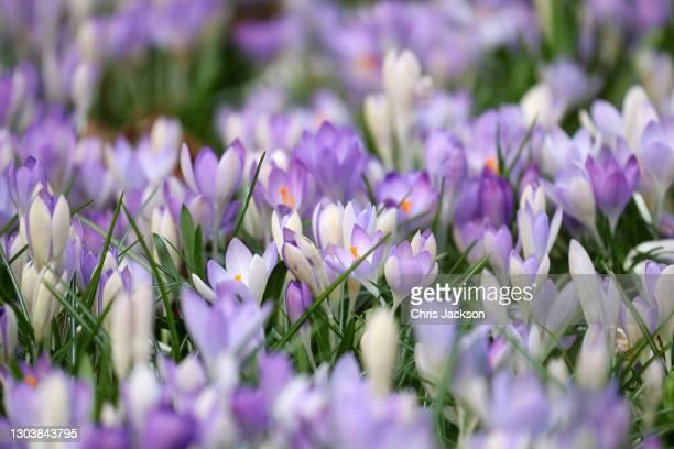 Crocus flowers bloom at the Royal Botanic Gardens, Kew on February 24, 2021 in London, England.