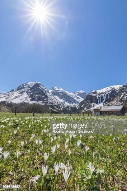 Crocus flowers, Davos, Switzerland