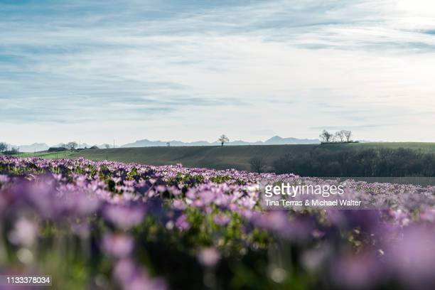 crocus flowers in a french landscape. pyrenees in the background. - sonnig imagens e fotografias de stock