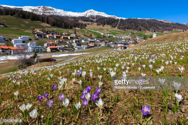Crocus flowers in bloom, Ftan