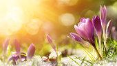 Crocus flowers in snow awakening in warm sunlight