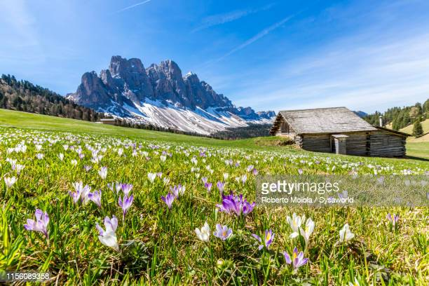 crocus flowers in spring, puez odle, south tyrol, italy - shack stock pictures, royalty-free photos & images