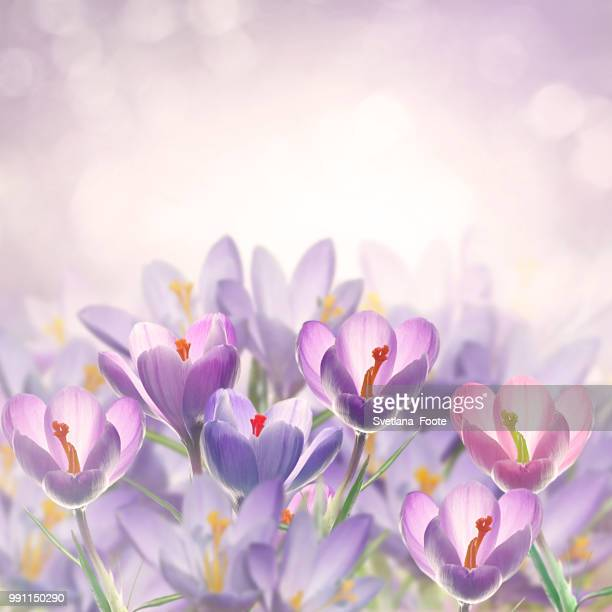 crocus flowers - svetlana stock photos and pictures