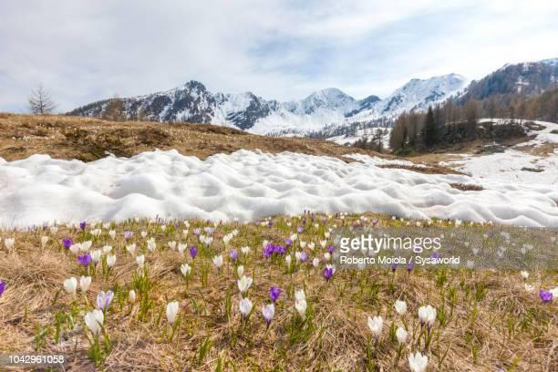 Crocus flowers, Valtellina