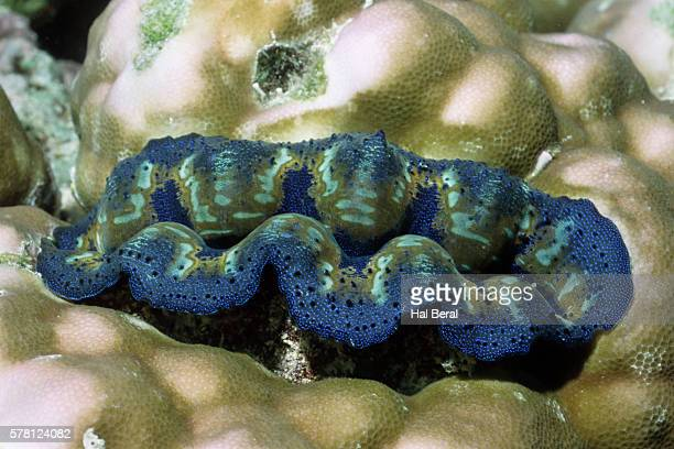 Crocus Giant Clam