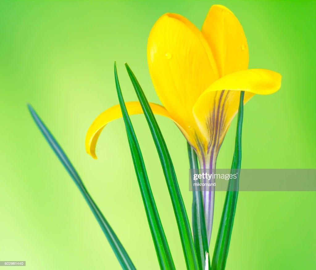 Crocus Golden Yellow Crocus Flower Springtime Stock Photo Getty Images