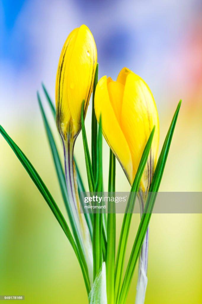 Crocus golden yellow crocus flower springtime stock photo getty images crocus golden yellow crocus flower springtime stock photo mightylinksfo