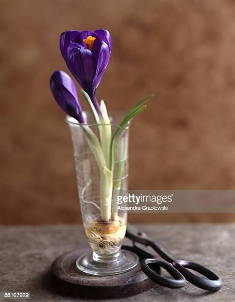 crocus in a vase - blumenzwiebel stock-fotos und bilder