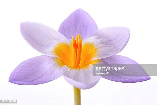 Crocus in front of white background