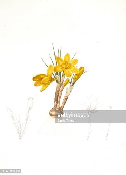 Crocus luteus Crocus aureus Redoute Pierre Joseph 17591840 les liliacees 1802 1816