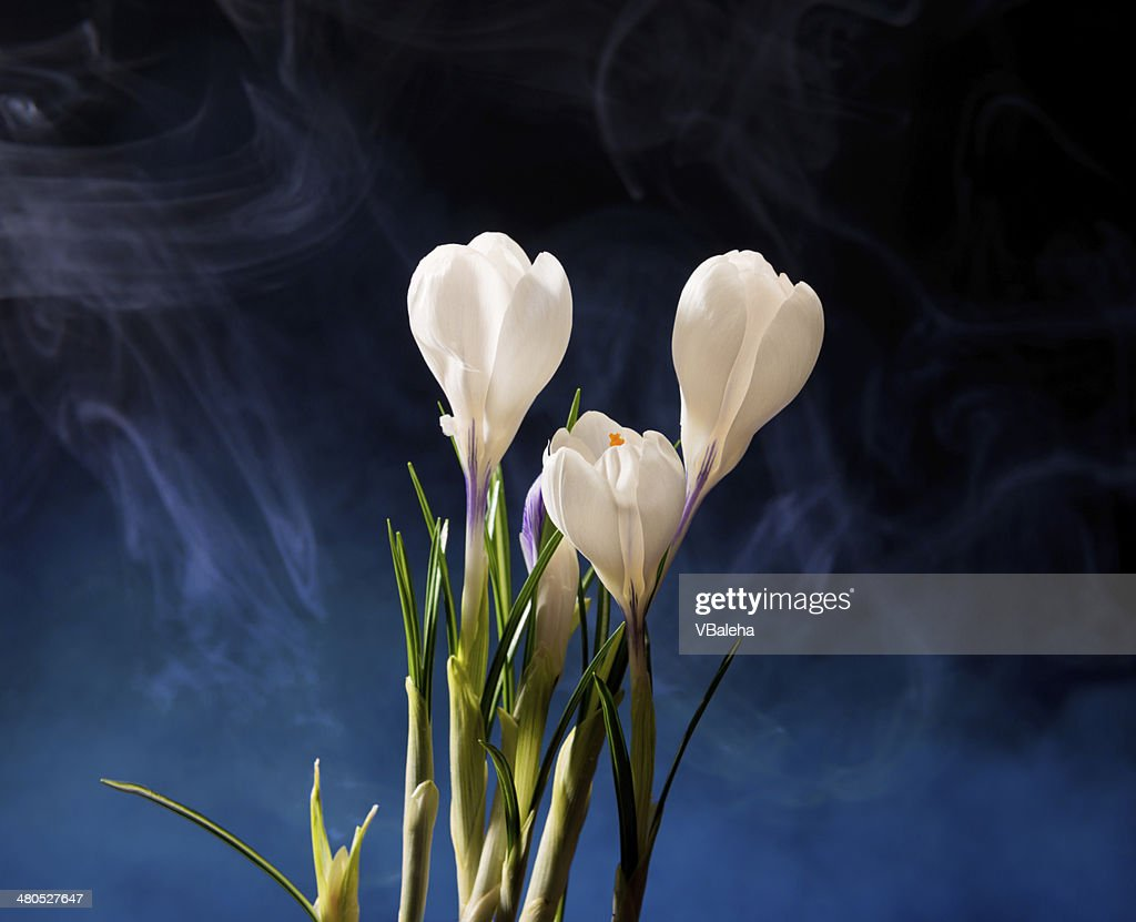 Crocus Spring Flowers : Stock Photo