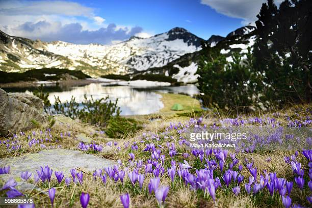 crocus valley in a springtime mountain - pirin mountains stock pictures, royalty-free photos & images
