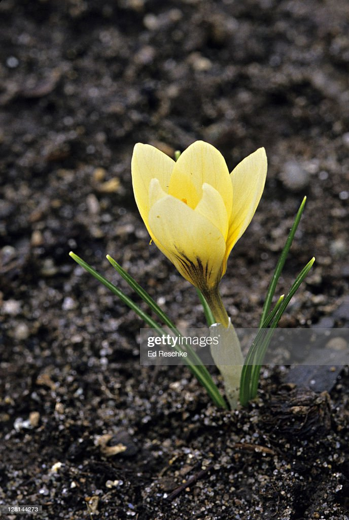 Crocus very early spring flower michigan usa stock photo getty images crocus very early spring flower michigan usa stock photo mightylinksfo