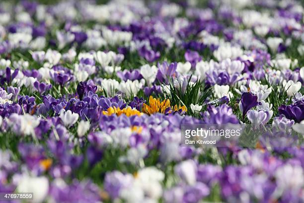 Crocuses bloom in Battersea Park on March 6 2014 in London England After one of the wettest winters on record nature is showing the signs of the...