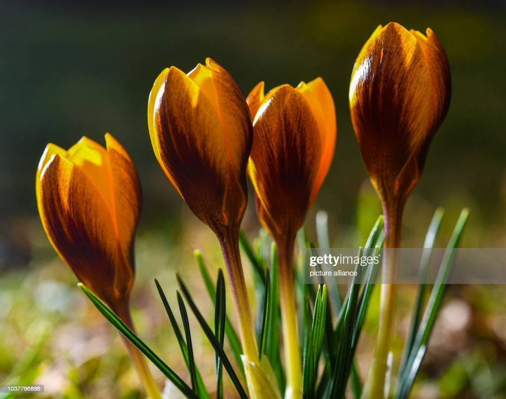 First Spring Flowers In Germany Pictures Getty Images