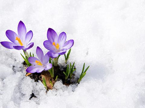 crocuses in snow 613114094