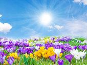 Crocuses in the spring sun