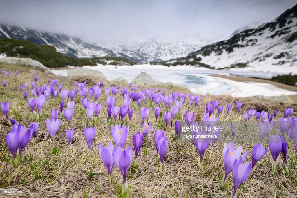 Crocuses nearby melting lake in Pirin Mountain : Stock Photo