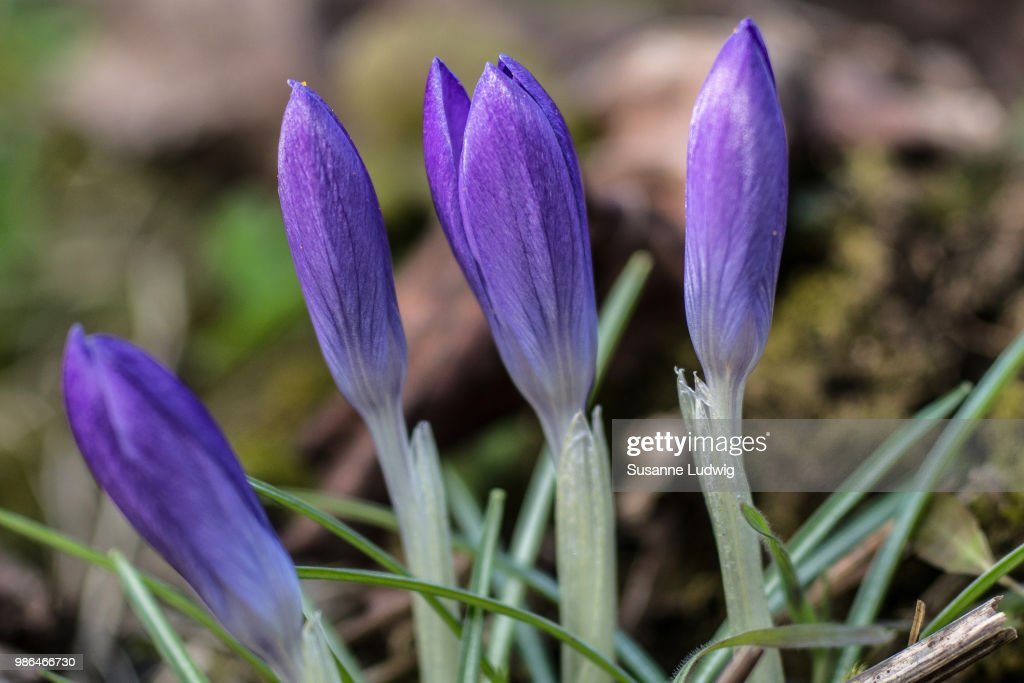 crocuses : Stock Photo