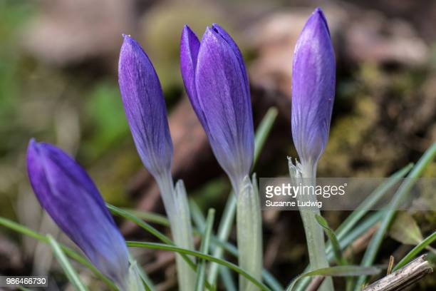 crocuses - susanne ludwig stock pictures, royalty-free photos & images