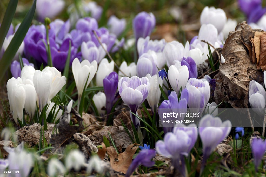 Crocusses are pictured on March 14, 2017 in Cologne. / AFP PHOTO / dpa / Henning Kaiser / Germany OUT