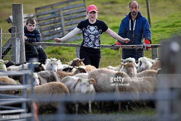Crofter Lyn Robertson helped by Jack Smith and Stuart Taylor sorts out her sheep to be taken off the Island of Foula to be sold on October 1 2016 in...