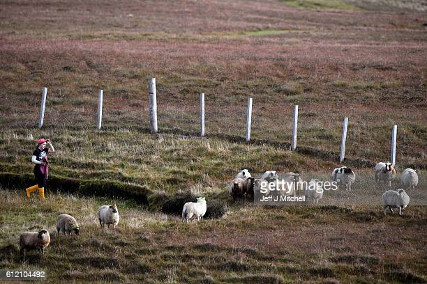 Crofter Lyn Robertson, sorts out her sheep to be taken off the Island of Foula to be sold on October 1, 2016 in Foula, Scotland. Foula is the...