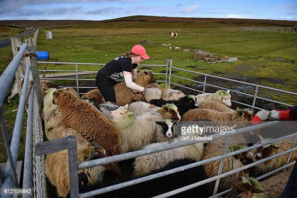 Crofter Lyn Robertson sorts out her sheep to be taken off the Island of Foula to be sold on October 1 2016 in Foula Scotland Foula is the remotest...