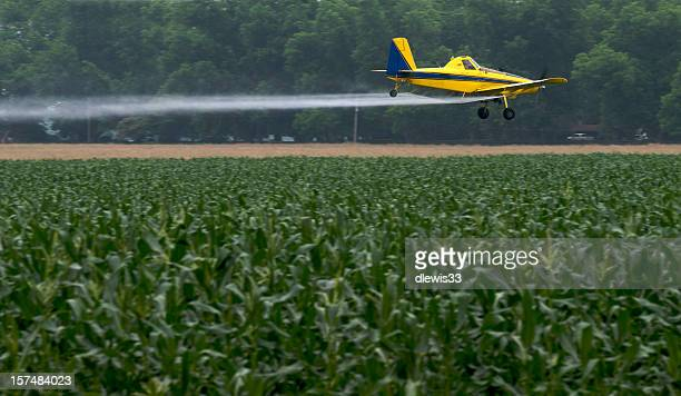 Crop duster drone flying over a cornfield and spraying