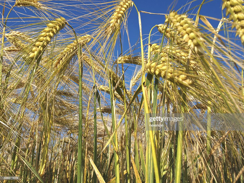 crop field : Stock Photo