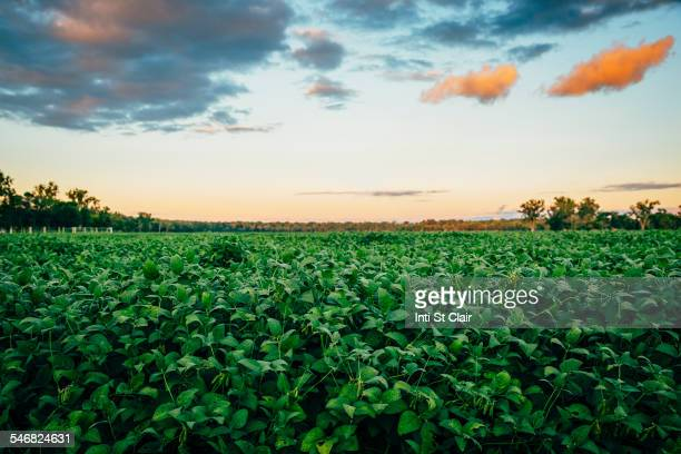 Crop field under sunrise sky in rural landscape