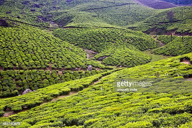 Crop in a field, Munnar, Idukki, Kerala, India, Kerala, India