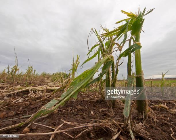 crop loss / destroyed corn crop - 雹 ストックフォトと画像