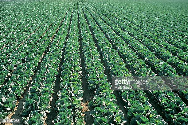 crop of cabbage growing in lines in a ploughed field, salinas, california, usa - cabbage family stock photos and pictures