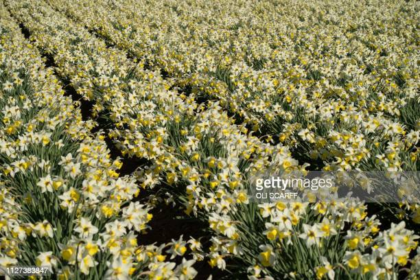 A crop of flowering Spring Dawn daffodils are pictured growing in a field on Taylors Bulbs farm near Holbeach in eastern England on February 25 2019...