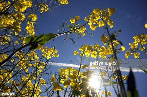 A crop of genetically modified canola grows in a field in Lake Bolac in the Western District of Victoria Australia on Tuesday Sept 29 2009 European...