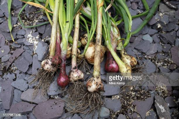 Crop of home grown organic vegetables including garlic and onions on 4th July 2020 in Birmingham, United Kingdom. The home-grown crops that have been...