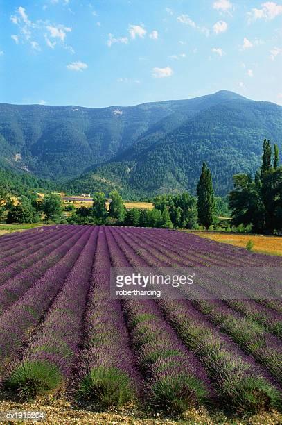 crop of lavender, le plateau de sault, provence, france - travel14 stock pictures, royalty-free photos & images
