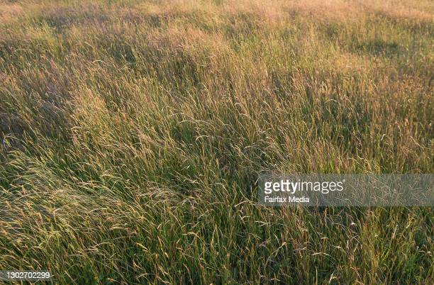 Crop of mandadyan nalluk, or dancing grass, grows on the property ofBruce Pascoe, anIndigenous man who lives near Mallacoota on the north coast of...
