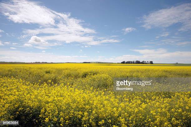 Crop of non-genetically modified canola grows in a field in Lake Bolac, in the Western District of Victoria, Australia, on Tuesday, Sept. 29, 2009....