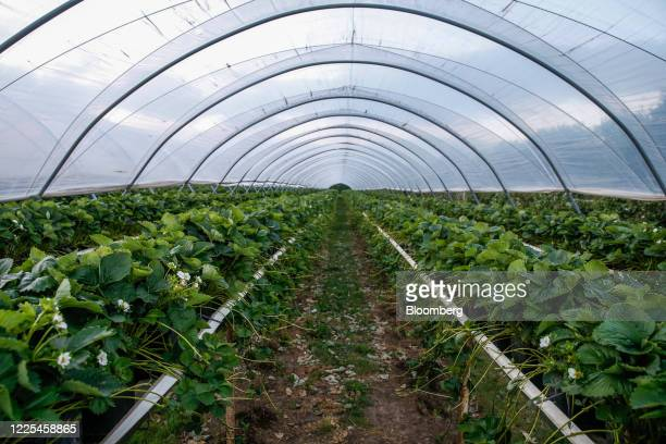 A crop of strawberries grow inside a poly tunnel at Clock House Farm Ltd near Maidstone UK on Monday June 29 2020 UK farmers are speeding up efforts...
