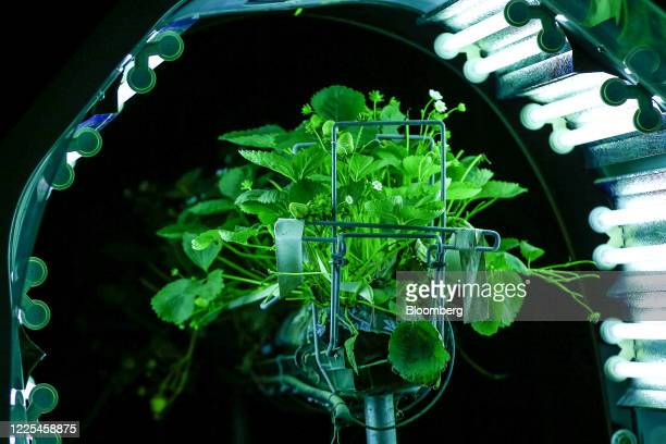 A crop of strawberries stands illuminated by a Thorvald autonomous modular robot developed by Saga Robotics as it completes an UltraViolet light...