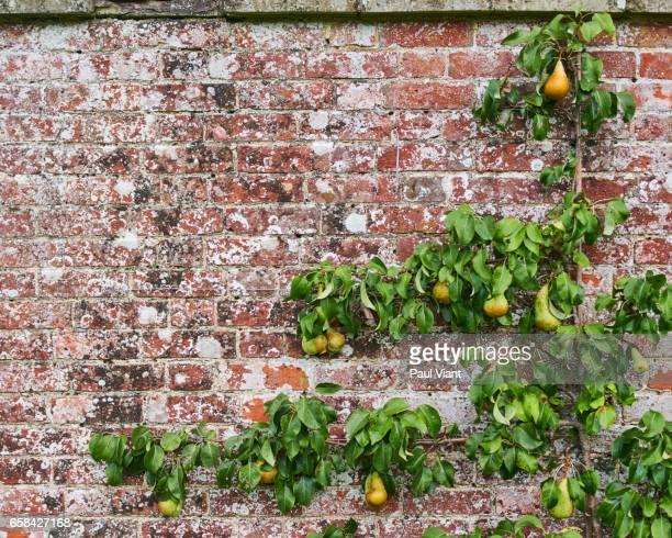 crop shot of espaliered pear tree