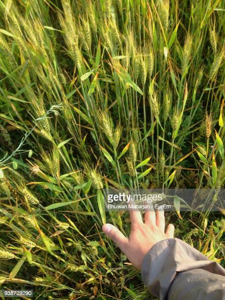 Cropped Hand By Wheat On Field