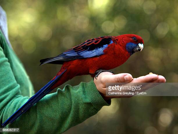 Cropped Hand Feeding Female Eclectus Parrot