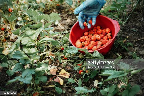 Cropped Hand Harvesting Strawberries At Farm