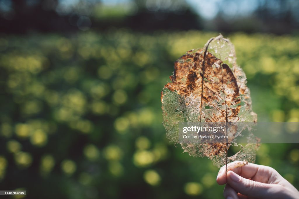 Cropped Hand Holding Dried Leaf : Stock Photo